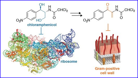 Derivatives of Ribosome-Inhibiting Antibiotic Chloramphenicol Inhibit the Biosynthesis of Bacterial Cell Wall