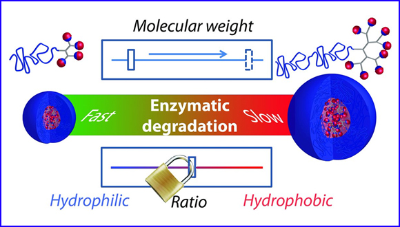 Tuning the molecular weight of polymeric amphiphiles as a tool to access micelles with a wide range of enzymatic degradation rates